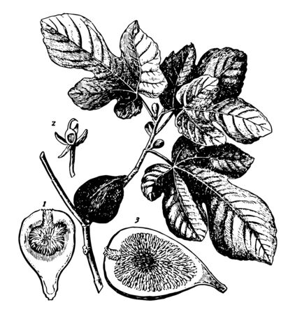 Fig branch with leaves and buds. A Fig cut into two half pieces can be seen in the picture, vintage line drawing or engraving illustration.