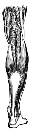 This illustration represents Muscles and Tendons of the Leg, vintage line drawing or engraving illustration.