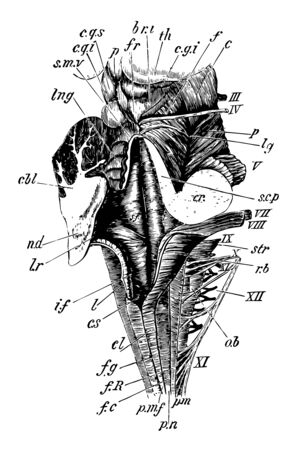 Dorsal or posterior view of the medulla fourth ventricle and mesencephalon, vintage line drawing or engraving illustration. 版權商用圖片 - 133008004