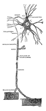 This illustration represents Scheme of the Central Motor Neuron, vintage line drawing or engraving illustration.