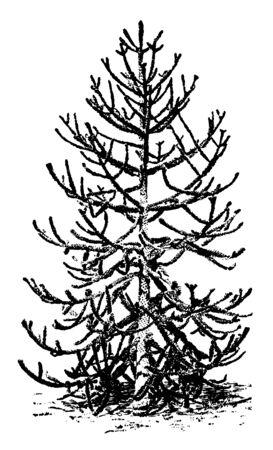 This is an image of Araucaria imbricate tree also known as Araucaria Araucana. This tree grows between fifty to one hundred feet tall and has a pyramid shaped habit of growth, vintage line drawing or engraving illustration.