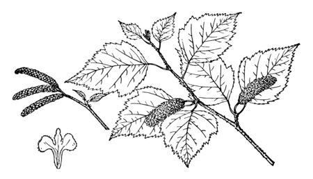 A photo of Betula tree branch showing many leaves and cones, vintage line drawing or engraving illustration. Illusztráció