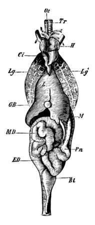 General view of the viscera in their naturaal relations, vintage line drawing or engraving illustration. 일러스트