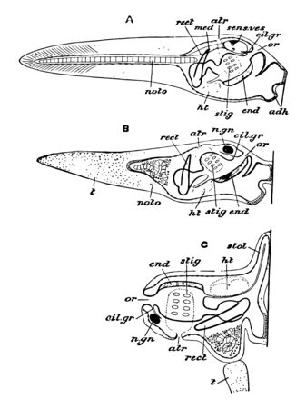 Ascidian Stages which is a paraphyletic class in the subphylum Tunicata of sac like marine invertebrate filter feeders, vintage line drawing or engraving illustration.