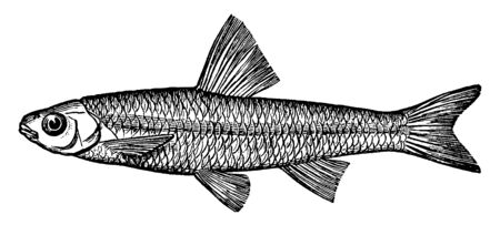 Spottail Minnow or Shiner is also called spawn eater, vintage line drawing or engraving illustration. Ilustração