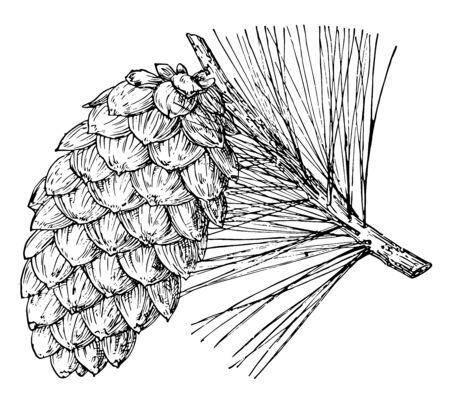 Pine one of a Limber pine tree. Limber pine tree is capable of being easily bent, vintage line drawing or engraving illustration.