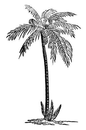 Un palmier dattier long avec plusieurs dates accrochées dessus, un dessin de ligne vintage ou une illustration de gravure.