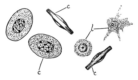 A blood Corpuscles also called a haematopoietic cell, vintage line drawing or engraving illustration.