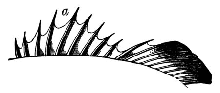 Ten Spines on the Fins of a Bony Fish which gives name to the acanthopterygian fishes, vintage line drawing or engraving illustration.