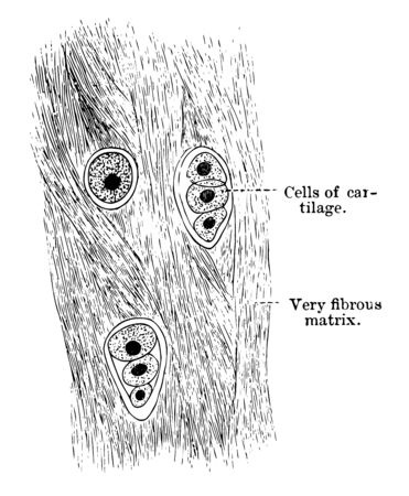 White fibrocartilage is composed of both cells and a matrix, vintage line drawing or engraving illustration.