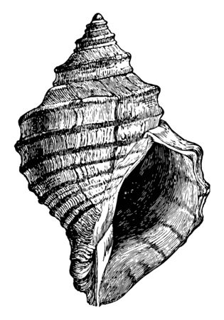Chrysodomus Decemcostatus is a characteristic fusoid gastropod of the northern Atlantic, vintage line drawing or engraving illustration. Иллюстрация