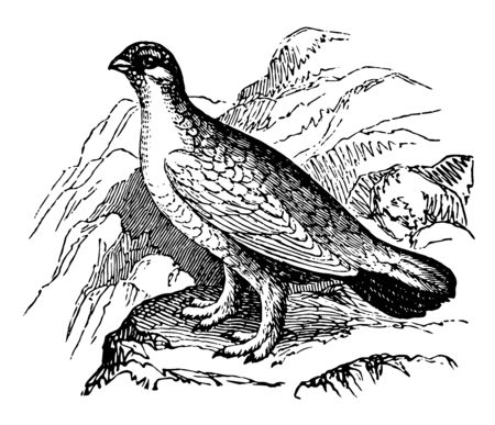 Ptarmigan Bird occurs in great abundance in the arctic regions of America and in Norway, vintage line drawing or engraving illustration. Çizim