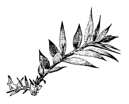 In this image there are the branches are simple and the leaves grow in two rows, vintage line drawing or engraving illustration.