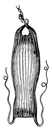 This image represents Dogfish Egg Case, vintage line drawing or engraving illustration.