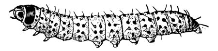 Caterpillar of the Leopard Moth is whitish with black glossy spots, vintage line drawing or engraving illustration. Иллюстрация
