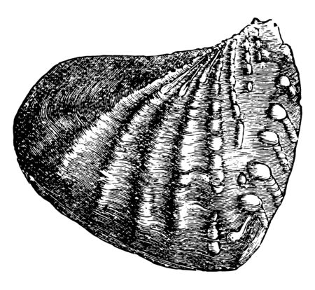 Trigonia is an extinct genus of saltwater clams fossil marine bivalve mollusk in the family Trigoniidae, vintage line drawing or engraving illustration. Çizim