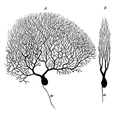 Two purkinje cells from silver preparation of cerebellar cortex, vintage line drawing or engraving illustration