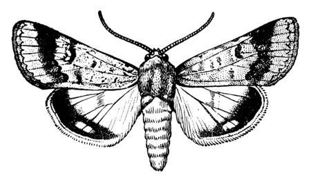 Adult Cotton Boll Worm which is in the form of a moth, vintage line drawing or engraving illustration. Illustration