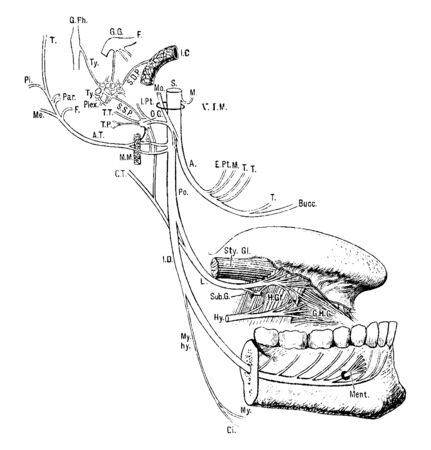This illustration represents Inferior Maxillary Nerve, vintage line drawing or engraving illustration.