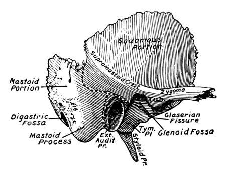 This illustration represents Temporal Bone, vintage line drawing or engraving illustration. Illustration