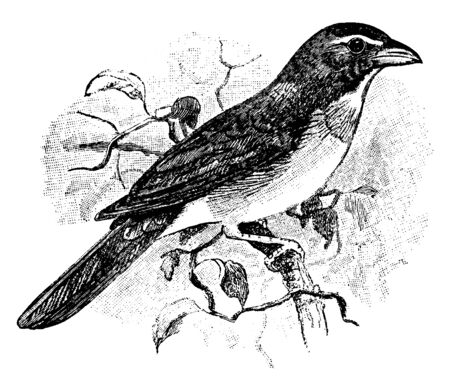 Saltator is an American songbird in the cardinal family, vintage line drawing or engraving illustration.