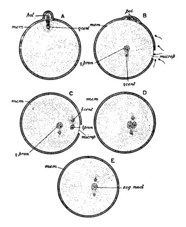 Diagram illustrating the maturation and fertilization of the ovum, vintage line drawing or engraving illustration. Ilustração