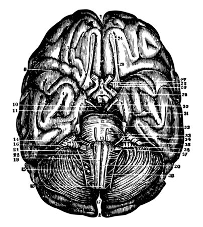 Base of the brain and cerebellum together with the cranial nerves, vintage line drawing or engraving illustration.