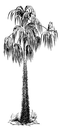 In this image the acanthorhiza aculeata tree grows thirty to forty feet tall. The tree is spiny at the base, vintage line drawing or engraving illustration.