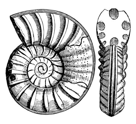 Ammonites obtusus is an extinct group of marine mollusc animals in the subclass Ammonoidea of the class Cephalopoda, vintage line drawing or engraving illustration. Çizim