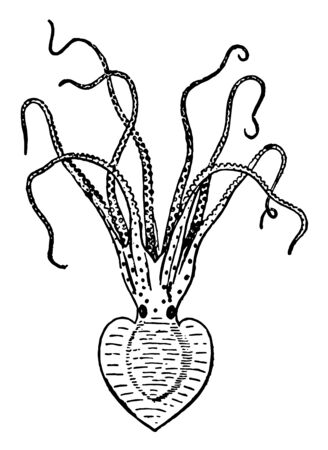 Pinnoctopus Cordiformis are the mollusc class Cephalopoda characterized by bilateral body symmetry, vintage line drawing or engraving illustration.