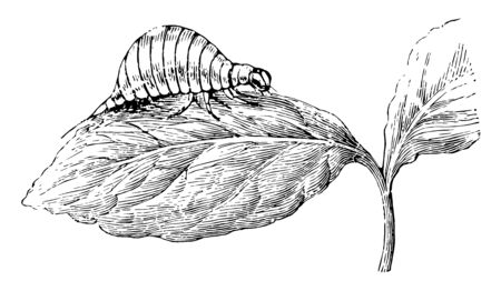 Larva of the Colorado Beetle is very unlike the adult insect, vintage line drawing or engraving illustration.
