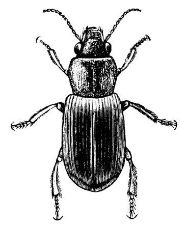 Agonoderus, solo hay una seta de este tipo y el diente mentum está ausente, dibujo de línea vintage o ilustración de grabado. Ilustración de vector