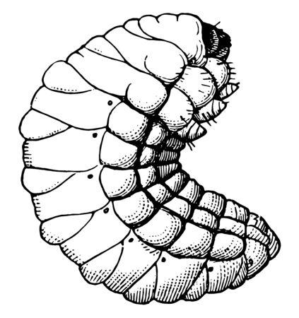 This image represents Pea Weevil Larva, vintage line drawing or engraving illustration.