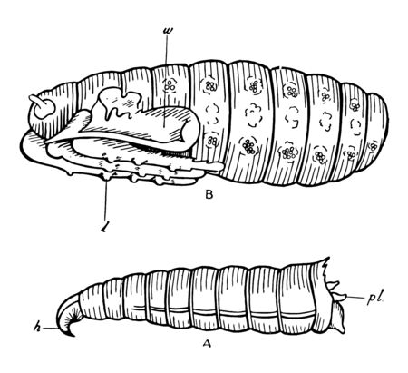 Blowfly Development is a primary species commonly utilized to indicate a postmortem interval, vintage line drawing or engraving illustration. Ilustração