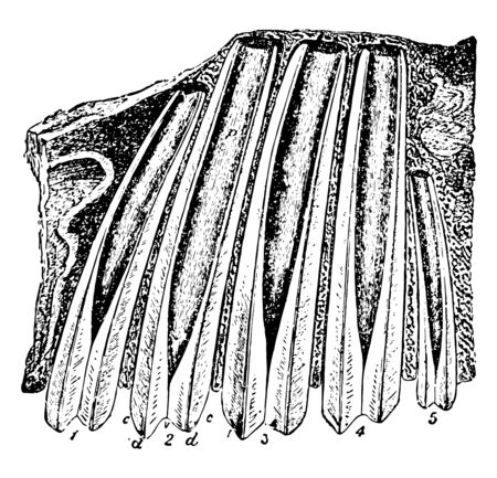This image represents Upper Molar Teeth of Megatherium Fossil Skeleton, vintage line drawing or engraving illustration.
