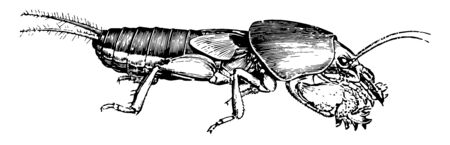 Mole Cricket has a smoky brown color above and a yellowish red below, vintage line drawing or engraving illustration.