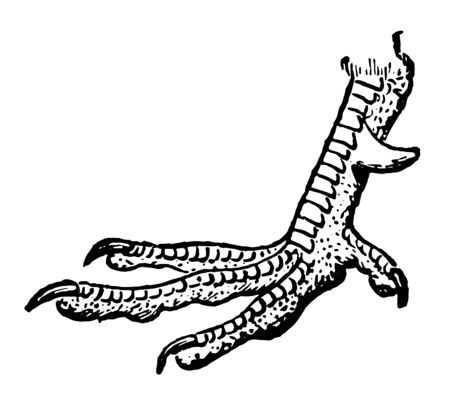Foot of Pheasant which is found on the leg of some species is designated a spur, vintage line drawing or engraving illustration.