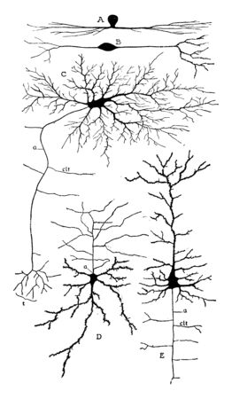 Showing some varieties of cell bodies of neurons, vintage line drawing or engraving illustration. Stock Illustratie