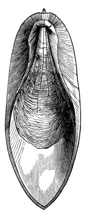 Bone of the cuttle fish which is an internal support of a calcareous nature, vintage line drawing or engraving illustration.