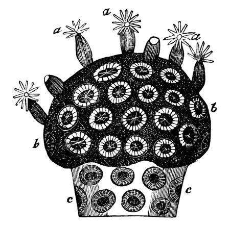 Astrae virdis where the stony rays of the cells are exceedingly numerous, vintage line drawing or engraving illustration.