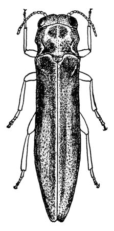 Pear Borer in which the larva of a small clearwing moth, vintage line drawing or engraving illustration.