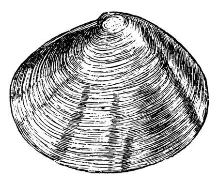 Tellina crassa ist eine weit verbreitete Gattung mariner Muscheln, Vintage-Linienzeichnung oder Gravurillustration.