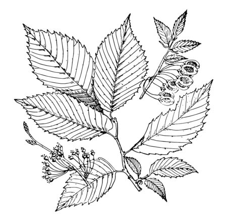 An oval shaped, jagged edge leaves with fruits hanging on branch, vintage line drawing or engraving illustration.