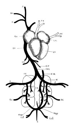 Heart and venous system of pigeon, vintage line drawing or engraving illustration.