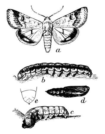 False Bud Worm in which dark full grown larva, vintage line drawing or engraving illustration. Ilustração