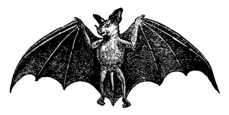 Spectral Bat is a mammal in the Phyllostomidae family of New World leaf nosed bats, vintage line drawing or engraving illustration.