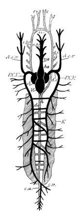 Diagram of Teleostean circulation, vintage line drawing or engraving illustration.