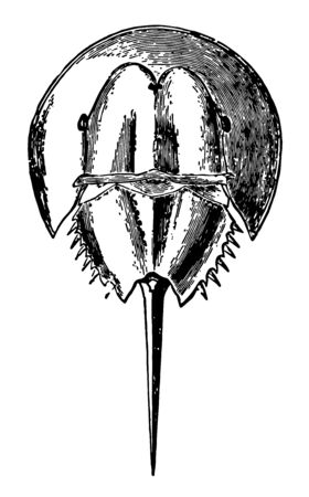 It is more closely related to spiders, ticks, and scorpions than to crabs. Horseshoe crabs are most commonly found in the Gulf of Mexico and along the northern Atlantic coast of North America,  vintage line drawing or engraving illustration.  イラスト・ベクター素材