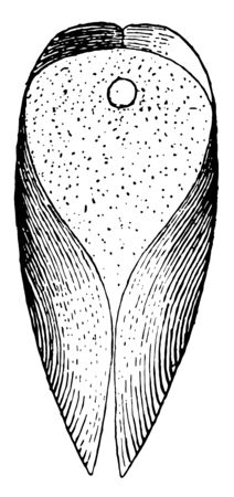 Ventral View of Gastrochaena shows the dried mantle with pedal perforation, vintage line drawing or engraving illustration. Banco de Imagens - 133014404