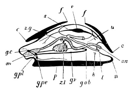 Parts of Mollusc which is any member of the large phylum Mollusca of invertebrate animals, vintage line drawing or engraving illustration.